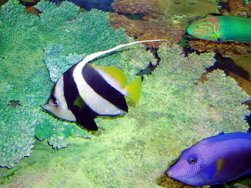longfin bannerfish ([hatatatedai]) #1568
