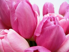 Tulips (janinehealy) Tags: pink flowers plants plant flower color colour macro nature beautiful beauty closeup digital fz20 petals pretty close tulips petal panasonic tulip florist bouquet colourful lovely janine dmc lecia janinehealy lecialens