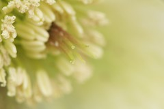 Hellebore (code poet) Tags: white flower macro lexington kentucky arboretum 100mm hellebore ccmpclosencounter