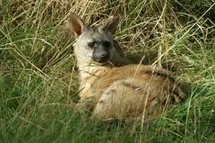 Aardwolf (tim ellis) Tags: animal carnivore twycrosszoo aardwolf protelescristatus protelescristata taxonomy:binomial=protelescristata taxonomy:binomial=protelescristatus