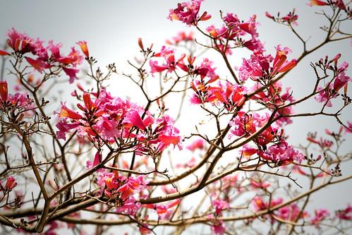 pink flower tree
