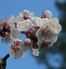 Fleurs d'abricot (Anduze traveller) Tags: flowers sky macro tag3 taggedout fleurs spring tag2 tag1 apricot printemps abricot