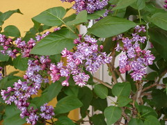 DSC02695 (Almudena-) Tags: flores abril 2006 lilas primavera2006