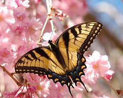 Cherry Blossoms and an Eastern Tiger Swallowtail Butterfly (Momba (Trish)) Tags: pink flower butterfly spring nikon nikond70 blossom tennessee cherryblossom nikkor easterntigerswallowtail momba japanesecherrytree spring2006 interestingness483 i500 explore02april2006 nikonstunninggallery specinsect