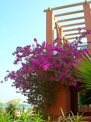 A garden view: Sheraton Miramar Resort El Gouna, Hurghada - Egypt (mnadi) Tags: flowers sunset red summer vacation sky orange holiday flower colour garden warm colours purple outdoor redsea curves egypt violet sunny resort bougainvillea arabic clear gouna egyptian styles sheraton ethnic spa miramar hurghada michaelgraves bedouin  nubian elgouna bougainvilleas