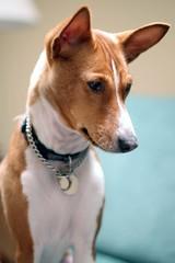 befuddled (lucky e) Tags: family portrait dog home princess x basenji exploretop20