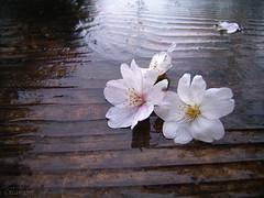 Sparrows' acts (tearoom) Tags: flowers macro rain cherry spring topf50 rainyday blossoms 2006 sakura cherryblossoms today topv3333 topf100 caplio gx spring06 1000v40f abigfave bestofspring