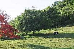 Mango tree and cow in Puerto Rico (MairimG) Tags: countryside cow puertorico pr mangotree flamboyan