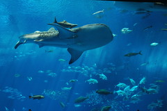 Whale Sharks are coming! (yoshiko314) Tags: fish aquarium shark underwater 100v10f  aquariums the3rdday 666v6f  okinawatrip okinawachuraumiaquarium okinawawhaleshark