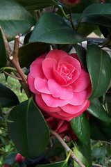 A Camelia in Gion (MShades) Tags: red flower japan kyoto    gion camellia   theaceae
