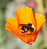Bee in the Poppy