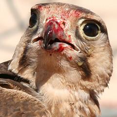 Falcon (matisok) Tags: wadirum jordan