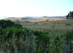 Cambria, CA (Pockafwye) Tags: california summer plant field grass animal barn landscape cow hill meadow pasture distance cambria rollinghills