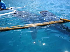 WHALE WATCHING (PINOY PHOTOGRAPHER) Tags: oslob cebu island province visayas philippines asia world