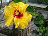Hibiscus rosa-sinensis (Tropical/Chinese Hibiscus, China Rose, Shoe Black Plant, Shoe Flower)