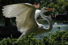 ♫ whoopdee dooooo doo...♫ x-ms is coming♫♫ (bocavermelha-l.b.) Tags: d70s aves garça greategret ardeaalba egrettaalba 105mmf28dmicro 白鹭 inbali ardeaalbaegretta kuntulputihbesar garçabrancagrande foundinnusadua most–difficult–captures south–china–sea inindonesia likeaballerina mi–im feitobailarina shootingwithd70s ダイサギ эгрет белаяцапля wildlifebali