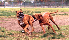 buddy and the boxer (noahstone) Tags: dog dogs fuji vizsla buddy velvia boxer ridgeback rhodesian a2e abigfave