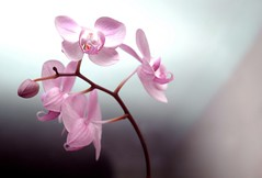 orchid (notcatherinezeta) Tags: flower orchid pink pretty topf25