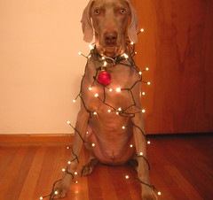 Decorating Gustav for Christmas (medalby) Tags: christmas dog lights interestingness decoration gustav weimaraner interestingness66 explore22dec05 sf429w33 636752 i500 1000v40f abigfave impressedbeauty