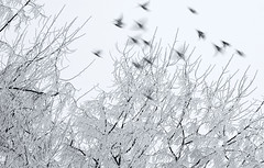 boids (Chris Lombardi) Tags: blur birds montana frost flight missoula inversion 3707068