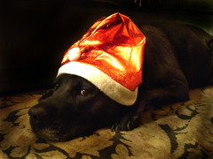 reluctant santa dog