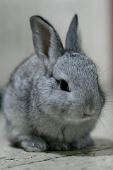 Johnny the Rabbit (gypsy4) Tags: 2005 christmas rabbit bunny 20d dwarf 247028llens