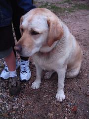 sage the dog (aloofdork) Tags: california santa barbara hiking sage dog yellow lab