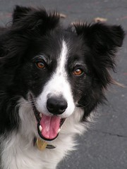 chief, again (kidicarus222) Tags: blackandwhite dog pet white black eye tongue hair fur happy bordercollie browneyes browneye