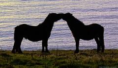 Seal it with a kiss (MadPole) Tags: uk horses horse caballo cheval ross kiss cornwall kali uma pony cal ponies ros cavallo cavalo pferd esp mal kin konie each kuda alogo ka horsies hest equus hevonen chevaux paard cavall kon hors sous  rta kone yegua hst  hesp assa   l  morin ko arklys hestur hynder  whitesandsbay chaval koniki  perd  eoh  zaldi k caval chelee  ks caballu konj march  kabayo soquili sobah kobila evalo hobu hobune cjaval cabalo  ippos   kavaju  ghod  av  turag hross kavalo capall  kudure ciaval tashunke caballus zirgs k  iemel cahuayo kavale hengest mearh kaviyu grast harmasari grasni load heasta cubaddu acchettu coallu va k  beygir  madpolestream