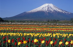 tulip field (miwa**) Tags: flowers red mountain snow flower green film nature field yellow japan spring nikon fuji mountfuji tulip fujisan 28105mmf3545d f80 nikkor  breathtaking mtfuji yamanashi fujiyama tulipano miwa theperfectphotographer bestofspring breathtakinggoldaward nikonflickraward50mostinteresting breathtakinghalloffame