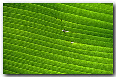 Verde esperana da bananeira (Z Lobato) Tags: bananeira tributoajoaquimmarques zlobato zrobertolobato