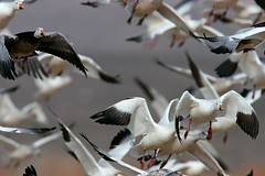SnowGeeseFlying1769EW (Earth Sanctuary) Tags: bird birds bosque snowgeese