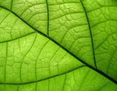I think I really start to like green (SophieMuc) Tags: macro green texture nature topf25 topv111 catchycolors ilovenature leaf interestingness topf50 saveme6 deleteme10 topv777 outtake topvaa mhls parrern colorhsvavg3ccfab colorhsvmed3bd3b4 colorrgbavg73ac21 colorrgbmed7ab420 0x75ab23