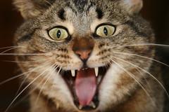 Yikesss (Padrone) Tags: pets macro 20d closeup cat funny yawn explore clem january2006 interestingness396 canon24105f4lis i500