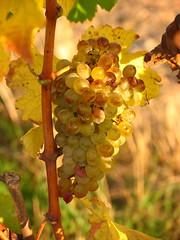 Chenin Blanc in the Layon autumn 2005