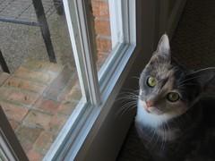 Sweet Miss Dorothy (qmchenry) Tags: window cat sweet missd catsandwindows