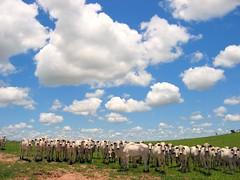 Cows & Clouds (joaobambu) Tags: brazil sky cloud topf25 field animals topv111 brasil topv2222 clouds rural wow print countryside cow interestingness interesting topf50 topv555 topv333 topf75 cattle cows topv1111 topc50 stock topv999 2006 cu topv5555 pasto pasture nuvens campo getty topv777 creatures topv9999 topv11111 topf125 topf150 topv3333 topv4444 topf100 ceu topf200 nuven topv8888 topv6666 topv7777 boiada topf175 nelore interestingness28 topf135 imagekind