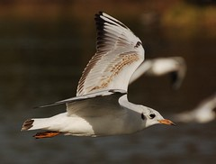 Guincho / Black-Headed Gull (jvverde) Tags: bird portugal inflight random gull birdsinportugal avesemportugal porto ave guincho larusridibundus gaivota parquedacidade blackheadedgull emvoo pssario
