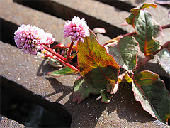 Pretty Pink Weed Flowers (joeysplanting) Tags: city pink flower weeds embarcadero polygonaceae polygonum polygonumcapitatum