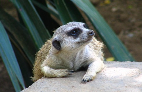 Lazy Meerkat on a hot, summer day