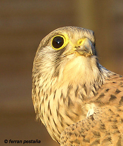 Cernícalo común - xoriguer - (falco tinnunculus)