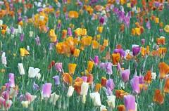Painter's Pallette (stchuck) Tags: flower colors garden blooms cantigny