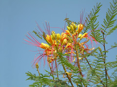 Yellow flowers (mnadi) Tags: flowers blue sunset red summer sky orange holiday flower colour tree yellow garden warm colours outdoor redsea curves egypt sunny resort arabic clear gouna exotic egyptian styles sheraton ethnic spa miramar hurghada michaelgraves bedouin  nubian elgouna bougainvilleas