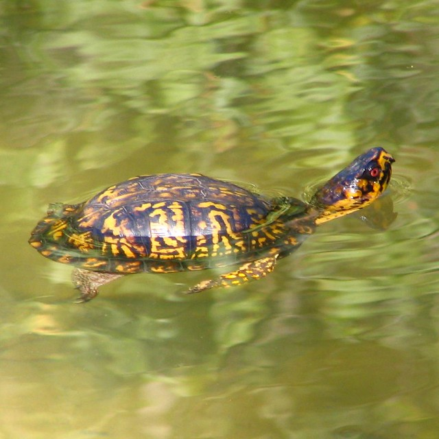 Myrtle the Turtle