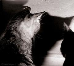 Cat  Shapes (0 W8ing) Tags: blackandwhite bw 120 tag3 taggedout cat feline tag2 tag1 kodak trix monotone bronica bronicaetr canoscan8400f