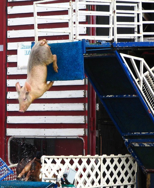 Tennessee State Fair - Diving Pig