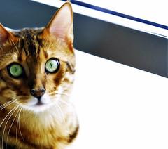 Oban - making eye contact (Belltown) Tags: 15fav orange pet green animal cat wow eyes gutentag exotic whisker oban staring bengal assymetrical i500 interestingness361 explore7feb06 photodomino253