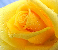 Yellow Rose with Raindrops (Pixel Packing Mama) Tags: beautiful rose yellow tag3 taggedout wow gorgeous awesome mellowyellow stunning flickrcentral mayberryrfdruralplacesrurallives flickrwow yellowflowers flowersraindrops flowersset 50v5f femalephotographers theseareafewofmyfavouritethings raindropsonflowers pixelpackingmama v2000 999v9f taggedoutthegraduatesofletsplaytag dorothydelinaporter taggedoutandproudofitset worldsfavorite mavicafanclub i500 interestingness420 interestingness307 yellowrosewithraindrops interestingness020906 views2000 wowphotos beautifuluniverse flowersandraindrops yisforyellow bonzag favoritedpixset mostinterestingaccordingtoflickralgorithmset abcsand123spool waterdropspool wowiekazowiepool closerandclosermacrophotographypool commentedwithanicondirectorypool yellowset thatsgettingupclosepool abcs123sentriesset allthingsmacropool favorites15pool uploadedfirsthalfof2006set views20002500pool chosenbyflickrexploreset 2000viewspool lvcolorpool commentedwithwowunlimitedpool 50plusphotographersaged50andbetterpool reallyunlimitedtimetovoteforyourfavepool macrocloseupshotsphotocontestvotingactivepool yellowmaniapool flickrviews999pool colorfulworldyellowsaturdaypool pixelpackingmama~prayforkyronhorman oversixmillionaggregateviews over430000photostreamviews