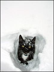 February '06 Blizzard: The Dude (Fen Branklin) Tags: winter bw pet snow cat blackwhite eyes kitty blizzard yelloweyes thedude winterstorm snowcat 2006blizzard 2006storm jeremyburger lofdec07
