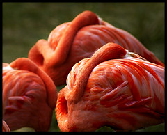 nap (Daryl Marquardt) Tags: pink bird nature animal nap searchthebest sleep accepted1of100 flamingo madison themecurves vision1000 visiongroup vision100 vision10000